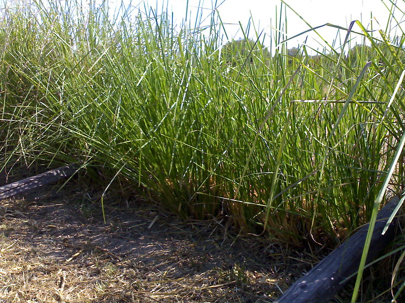 biomassa un mese dopo vetiver italia