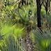 Palms - Palmas; al sur de Zapotitlán Palmas, Región Mixteca, Oaxaca, Mexico por Lon&Queta