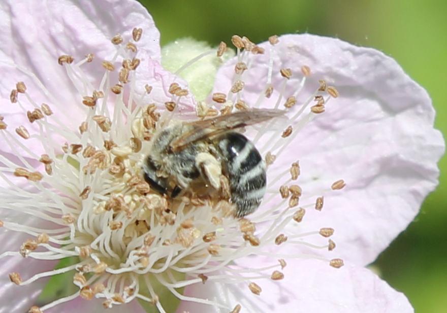 Lasioglossum sisymbrii (Halictidae: Lasioglossum)