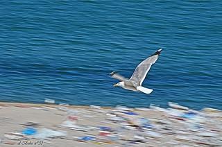 Imagen de Praia do Orzán Playa del Orzán cerca de A Coruña. praia beach seagull playa cc sanjuan creativecommons gaviota gaivota riazor eldíadespués sanxoan elbuhonº30