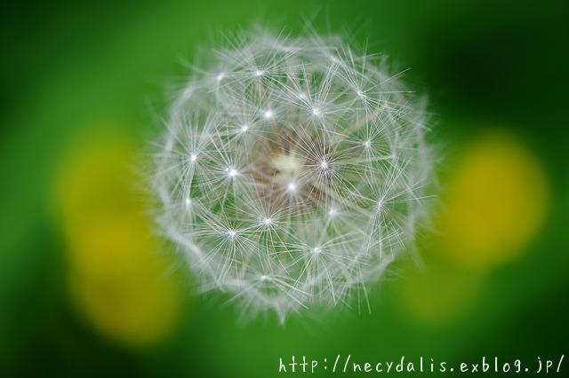 dandelion puff...