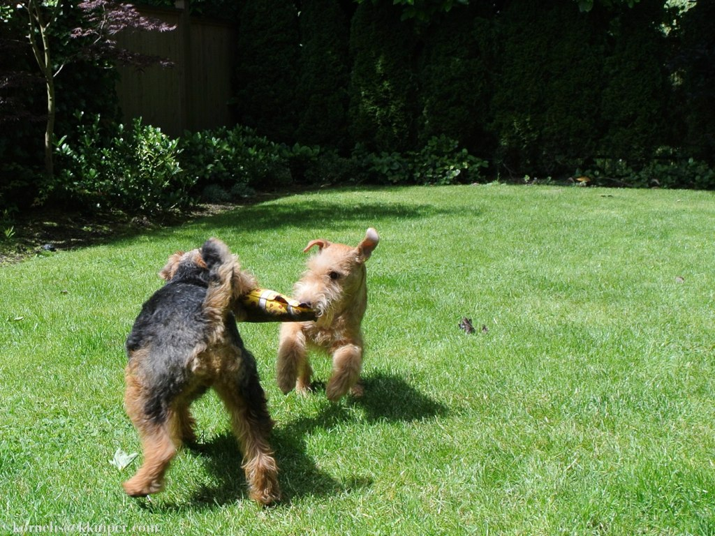 welsh terrier tail down