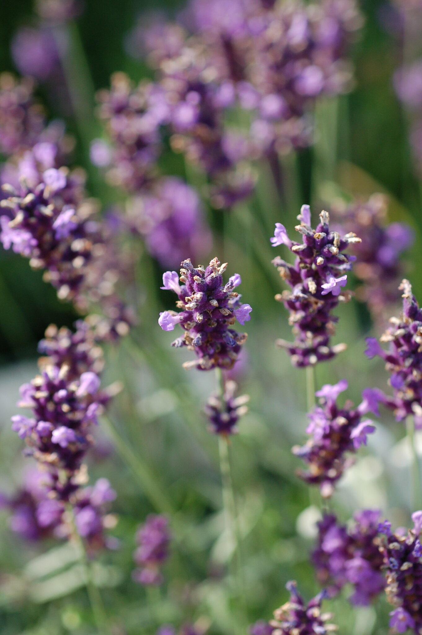 echter lavendel lavandula angustifolia syn lavandula. Black Bedroom Furniture Sets. Home Design Ideas