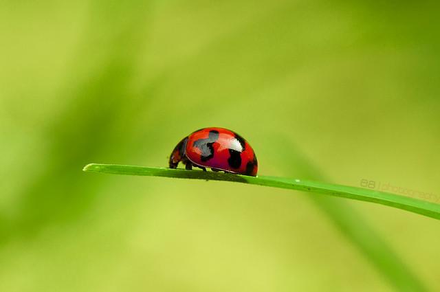 Miss Ladybird