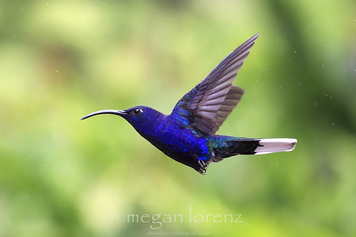 Sabrewing by Megan Lorenz