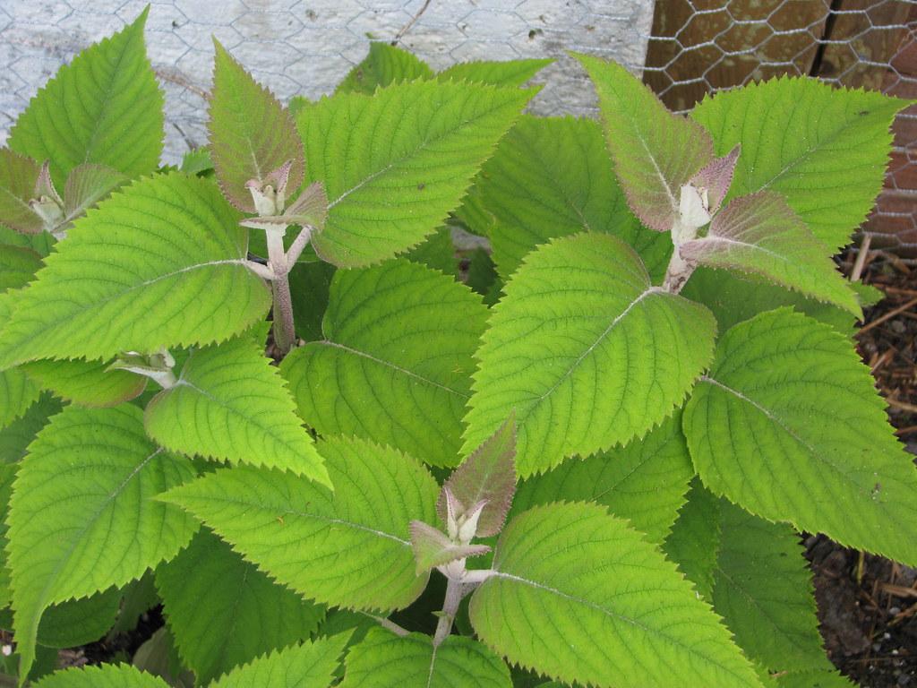 Colquhounia coccinea foliage