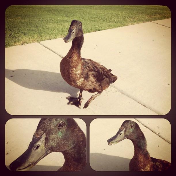 Bold Ducky
