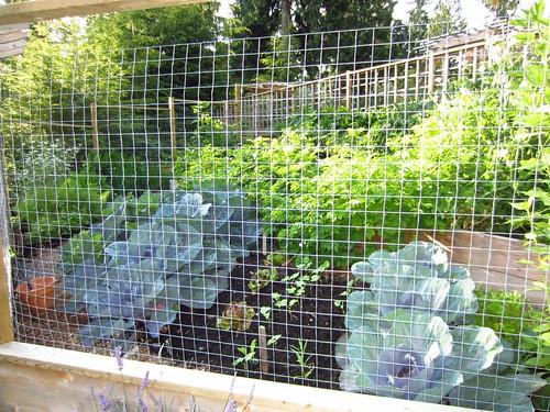 Veggie Garden -Cabbage