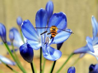 Hainschwebfliege auf blauer Blüte