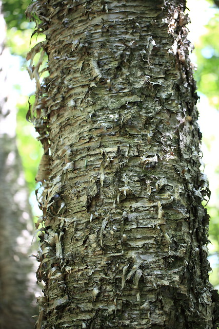 Photo:Japanese White Birch / Betula platyphylla var. japonica / 白樺(シラカンバ) By TANAKA Juuyoh (田中十洋)