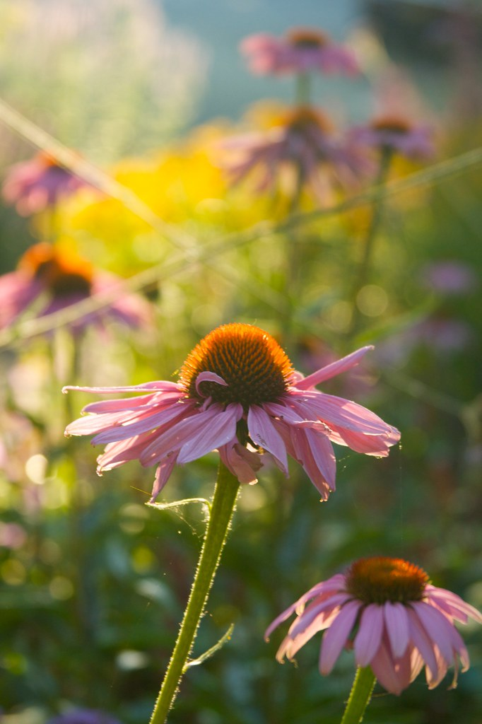 echinacea august morning  1996