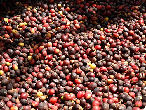 Arabica coffee beans at finca de La Laja, Gran Canaria