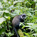 Uganda, Bwindi Impenetrable NP: catching a Hoest's monkey...