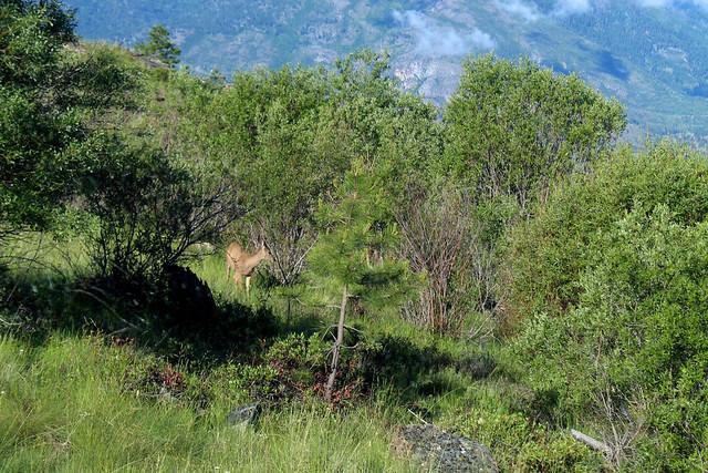 Okanagan Valley Penticton Deer