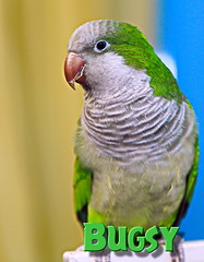 Bugsy the Quaker Parrot