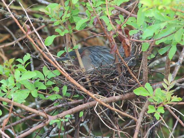 Green Heron culvert nest female incubating 20120422