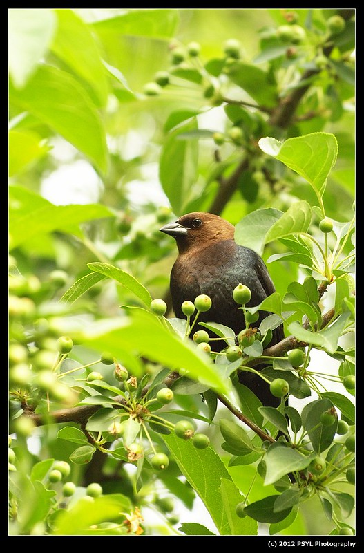Male Brown-headed Cowbird (Molothrus ater)