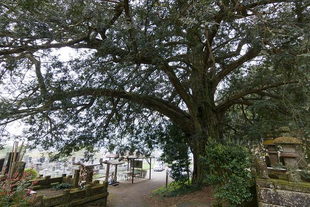 #29 The Giant Nutmeg-yew of Kanoudai