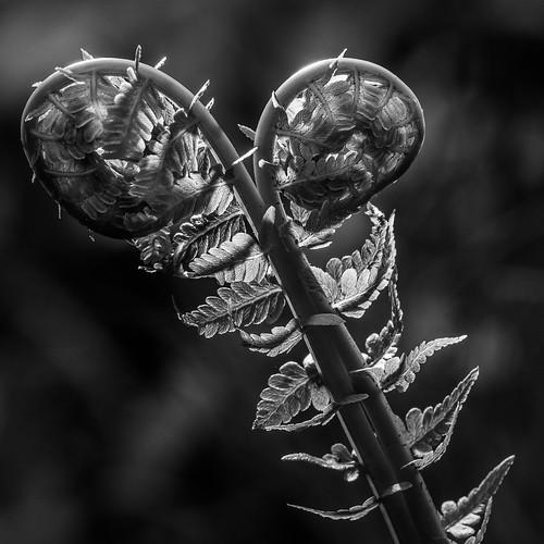 Fiddle Head in B&W by Glooscap
