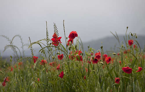 regenmohn - poppies in the rain by glasseyes view