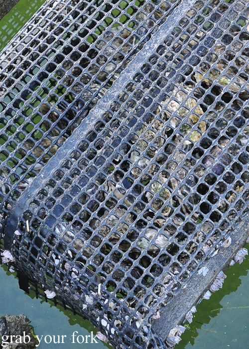 Live oysters growing inside the oyster basket