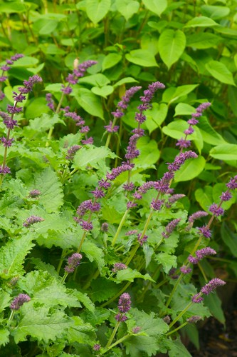 salvia purple rain  1710