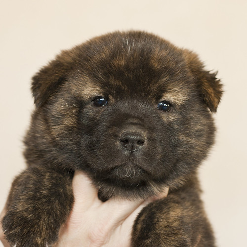 Kumi-Second-Litter-Pup5-Female(Nori)-Day30a