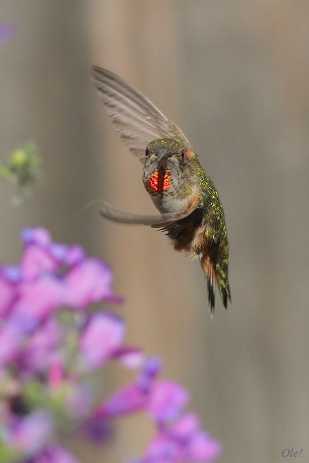 Allen's Hummingbird 051812-7