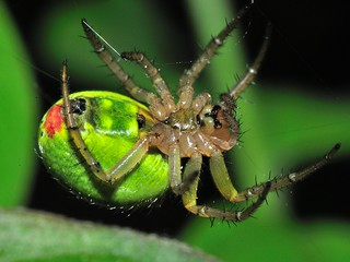 Green Orb-Weaver (Araniella cucurbitina) - original size: 5-6mm body length