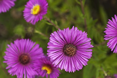 dorotheanthus bellidiformis, aster, annual plant, flower, plant, daisy, macro photography, wildflower, flora, daisy, petal,