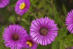 garden cosmos(0.0), marguerite daisy(0.0), dorotheanthus bellidiformis(1.0), aster(1.0), annual plant(1.0), flower(1.0), plant(1.0), daisy(1.0), macro photography(1.0), wildflower(1.0), flora(1.0), daisy(1.0), petal(1.0),