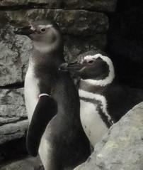 Pinguins del Oceanari