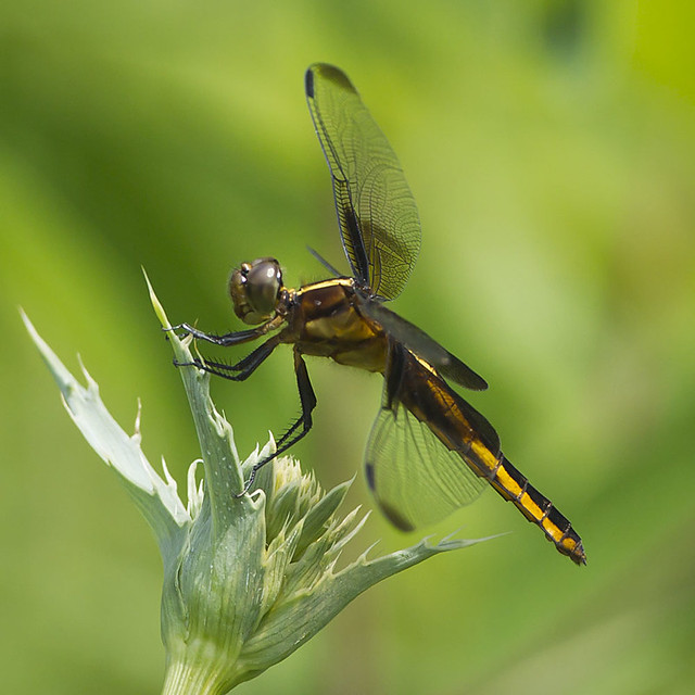 WIDOW SKIMMER DRAGONFLY | Flickr - Photo Sharing!