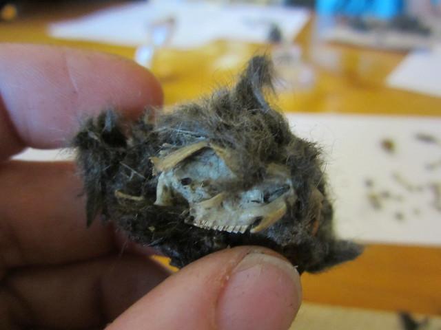 Inside an Owl Pellet