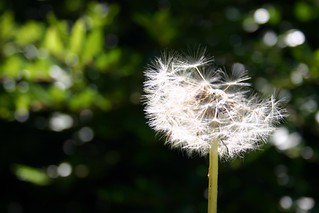 Dandelion flow