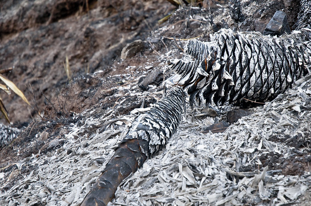 A Cactus Plant - It once was - now totally destroyed in the fire ravaged hillside - More Fires in the Himalayas - Dagshai HIlls photo photography Anoop Negi