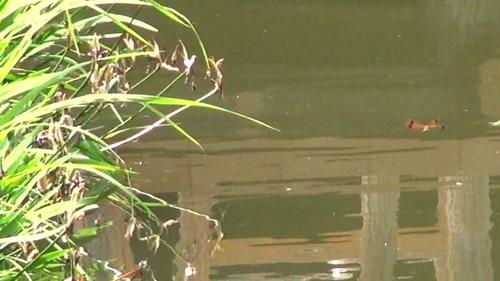 コフキトンボ雌オビ型