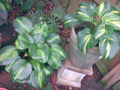 Hosta 'Avocado' left and 'Emerald Charger' right