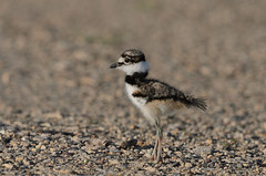 Killdeer Baby crop_5441.jpg by Mully410 * Images