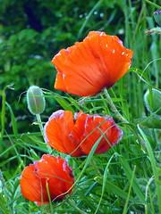 eschscholzia californica(0.0), flower(1.0), plant(1.0), wildflower(1.0), flora(1.0), coquelicot(1.0), petal(1.0), poppy(1.0),