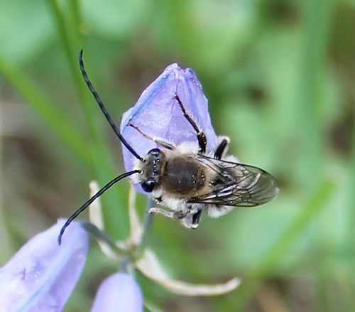 Long-horn bee
