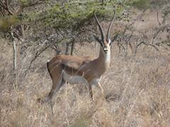 Grant's Gazelle - Mpala Farm