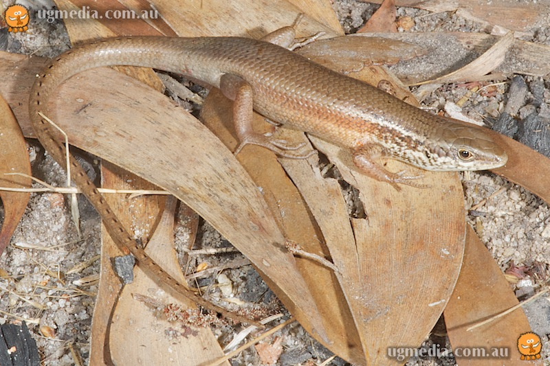 Black-throated rainbow-skink (Carlia rostralis)