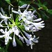 Small photo of Agapanthus africanus