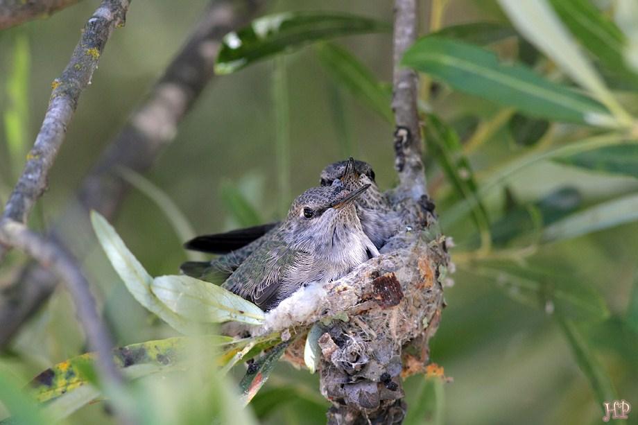 Hybrid Hummingbird nest 070512-2