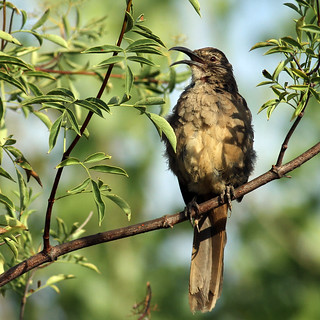Juvenile California Thrasher