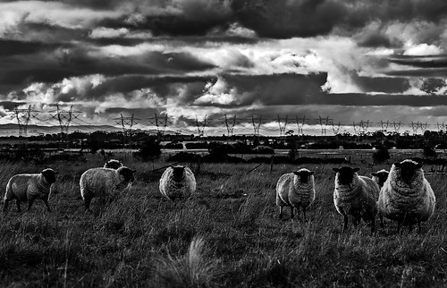 Sheeps bw