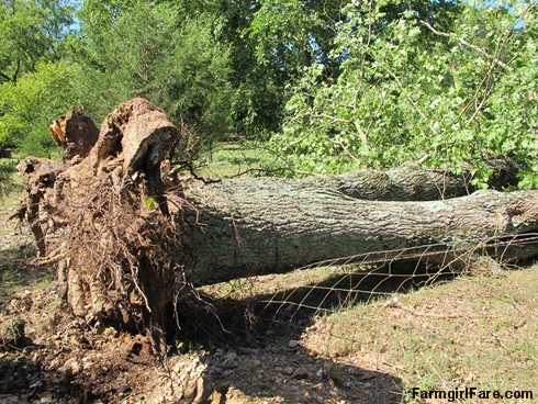 (19-2) Big old oak tree that fell during Thursday's storm - FarmgirlFare.com