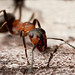 WOOD ANT 2012  #1 by GOLDENORFE