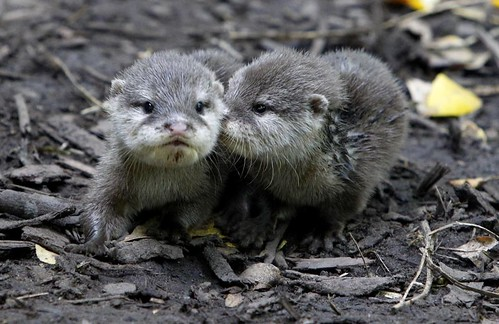 two tiny fluffy baby otters. One is looking at the camera; the other appears to be whispering in the first one's ear.